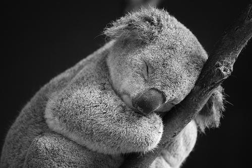 10 Fakta Tentang Koala